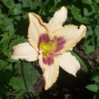 Bloomin' Update 2: Delightful Daylilies Dazzle Daily