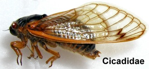Photo courtesy of http://www.entomology.umn.edu