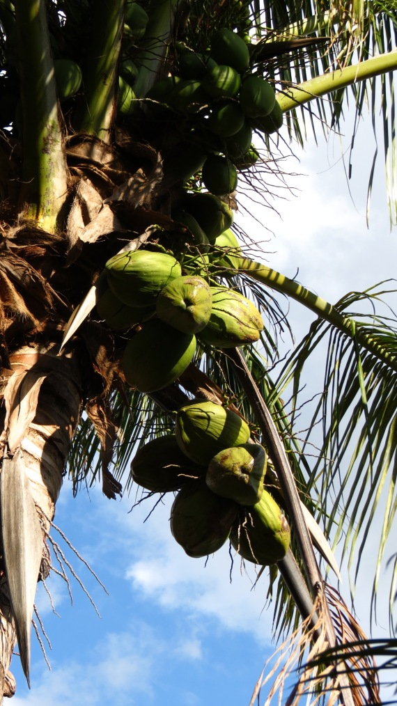 What a lovely bunch of coconuts, courtesy of Cocos nucifera.
