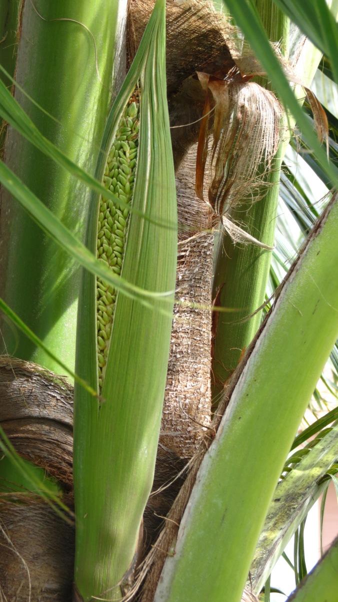 Coconut Palm Sheath