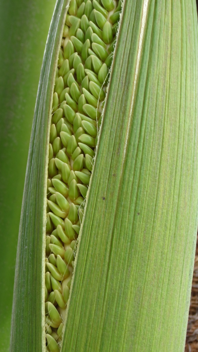 Coconut Palm Sheath 2