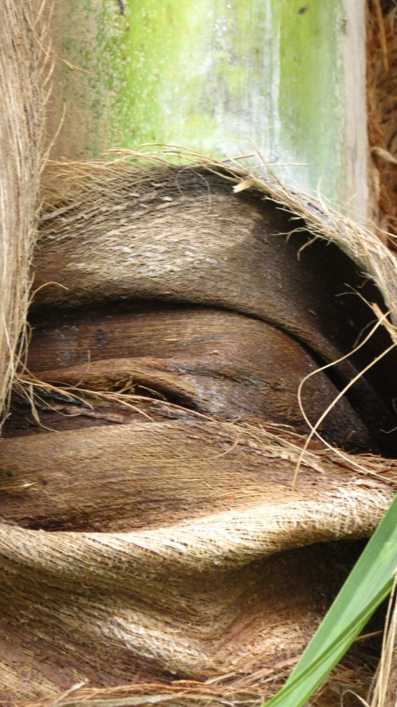 "A close-up of the coconut palm ""burlap,"" a kind of fibrous cloth."