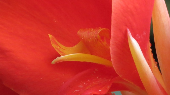 Canna Close Up
