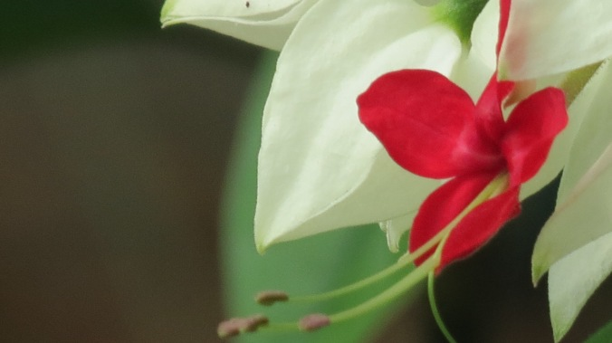 Bleeding Heart Vine, a plant and story that keeps on giving.