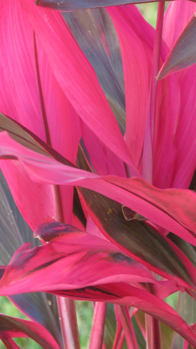 Cordyline, or Ti plant, is not one of my favorites because it tends to get leggy and woody -- but the colorful foliage can't be beat.