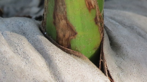 It's amazing to see a blade of green slice through the tough coconut shell as if it were soft butter.