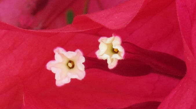 The eyes of a Bougainvillea.