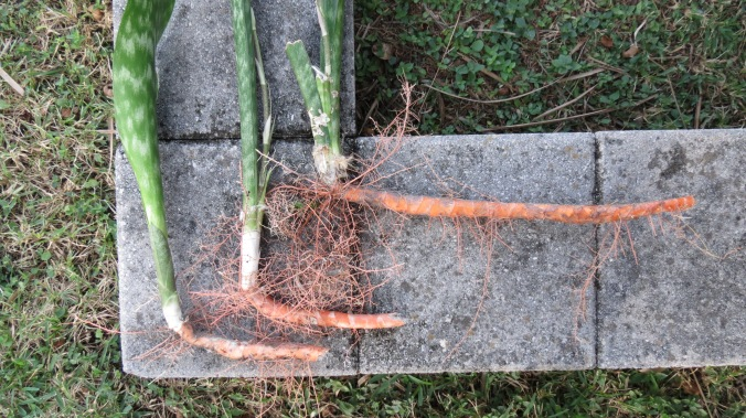 Our neighbor's Sansevieria trifasciata sent shoots into our yard.  If left unchecked, the plant can take over.  By the way, the more common names are Mother-in-Law's Tongue Plant or Snake Plant.