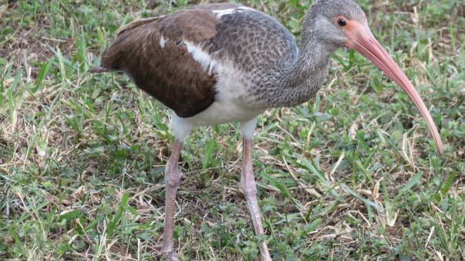 Here we have an Ibis -- a brazen Ibis who had no fear of a human with a camera.
