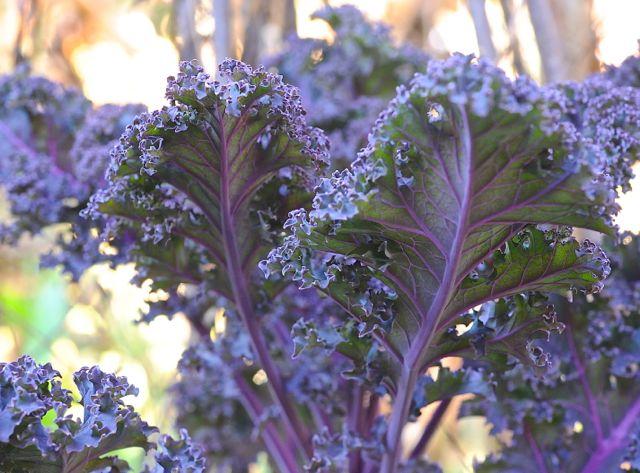 dark-purple-kale