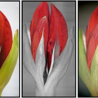 Amaryllis Boo-Boo: From Wallflower to Supermodel