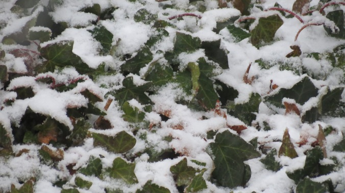 Snow falling on Ivy.