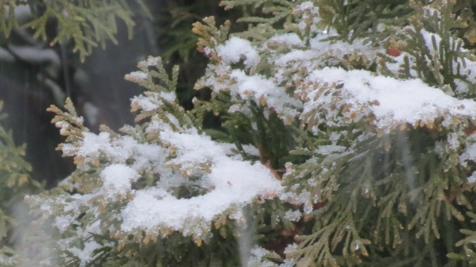 Snow falling on Arborvitae.