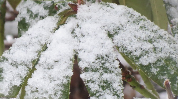 Snow falling on Rhododendrons.