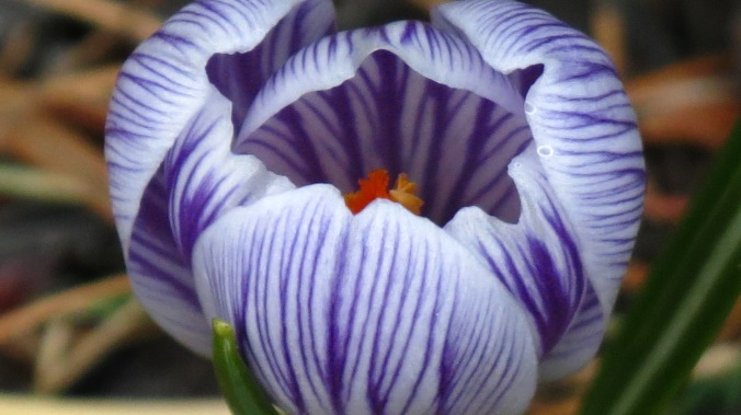 My all-time favorite crocus: Pickwick.