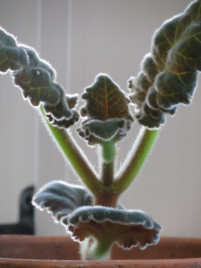 I'll take my green wherever I can get it, even from a houseplant.  In this case, it comes from the furry leaves of Gloxinia, which is reappearing after it's winter slumber.