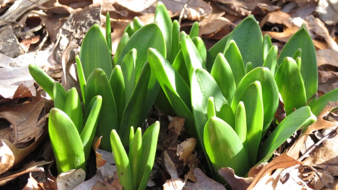 Hyacinth crowns push their way through the leaves.