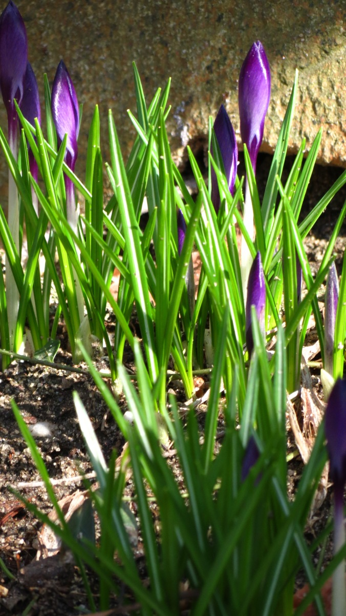 There's nothing like seeing the first crocus.  What some green and a splash of color can do for the soul!