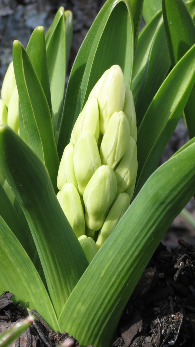 The hyacinths are coming, the hyacinths are coming.