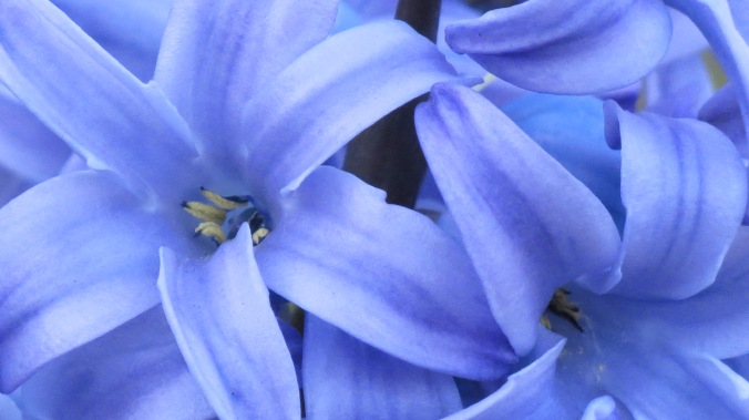 "Hyacinth. ""Spring shows what God can do with a drab and dirty world."" -- Virgil Kraft, author"