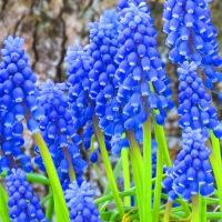 Bloomin' Update 40: La Dolce Muscari