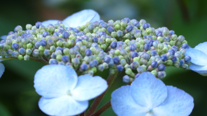 Lacecap Hydrangea.  These flowers seem to glow in the dark.