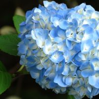 The Great Hydrangea Experiment — Nitty Gritty Dirt Man