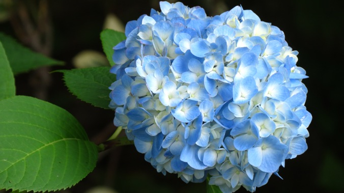 Hydrangea, OPALS 3-6, depending on variety.