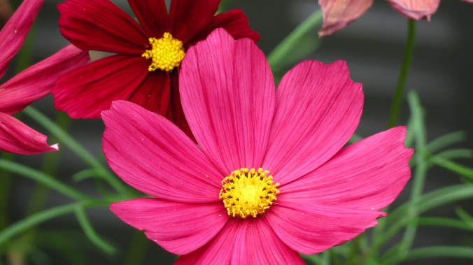 Cosmos.  They open red, fade to pink, and then a dusty rose.