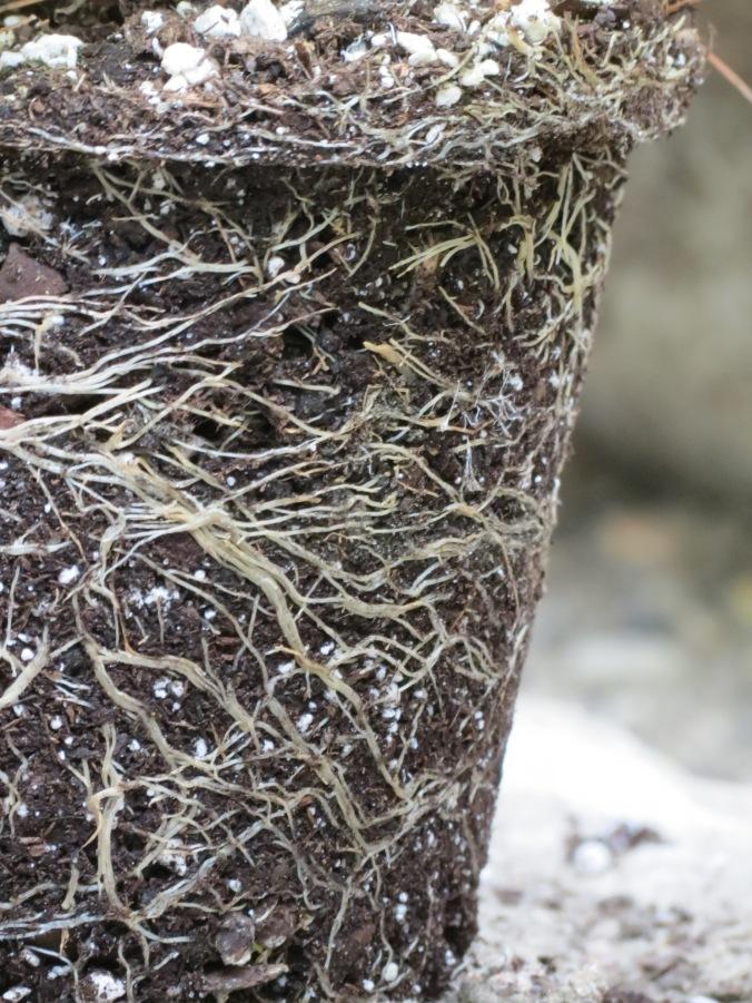Hydrangea Roots