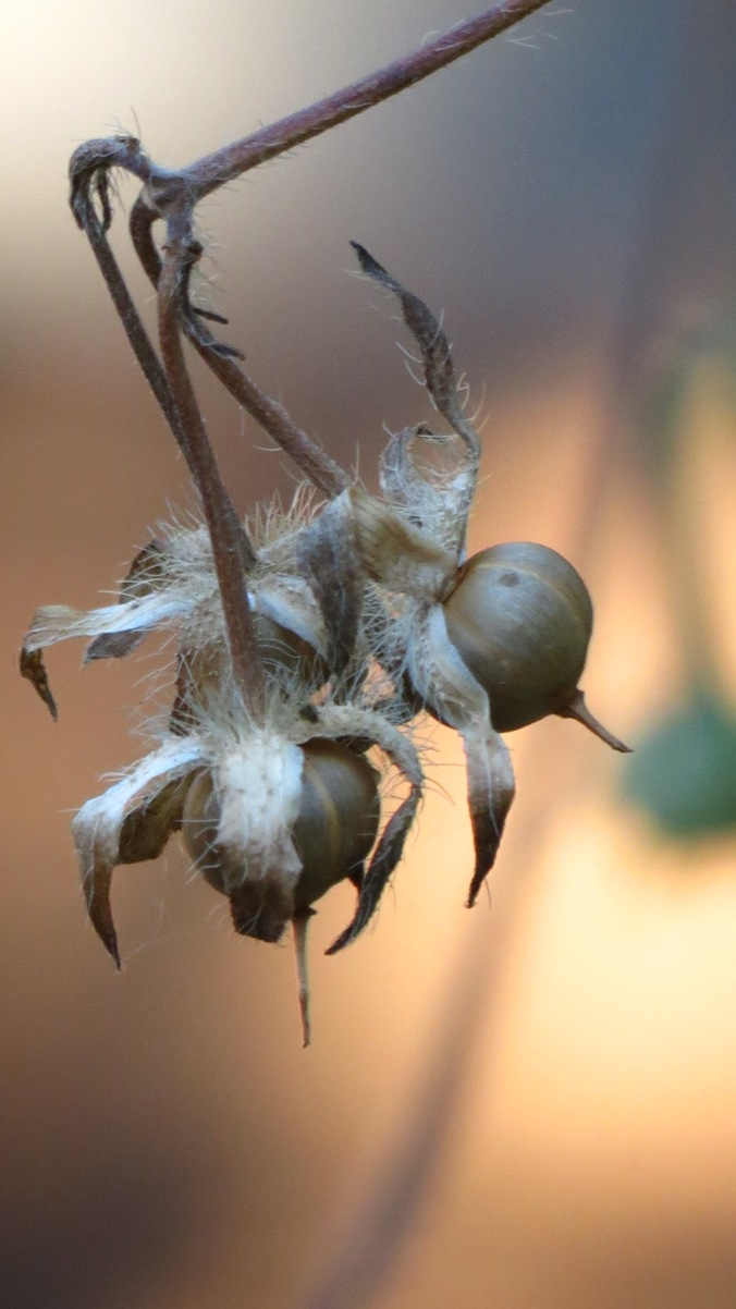 Today, seed pods are all that remain.