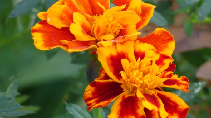 Marigolds are still ablaze.
