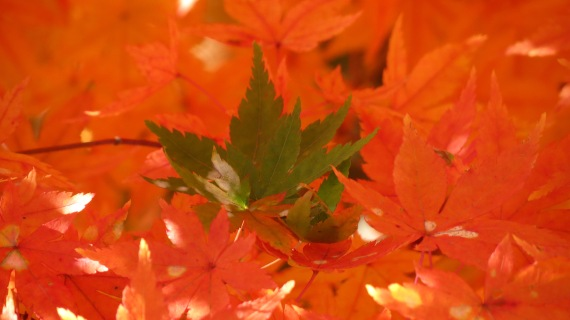 Leaves from my northern autumn.