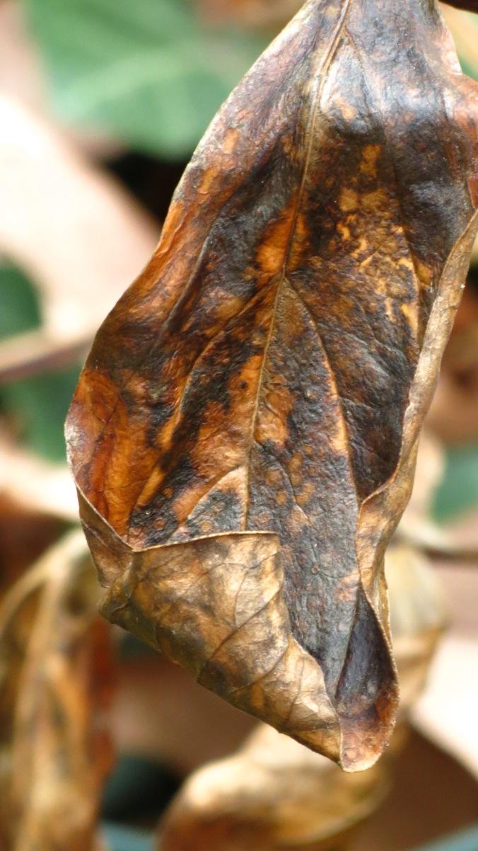 Peony Leaf.