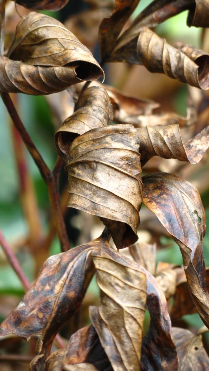 Peony Leaves.