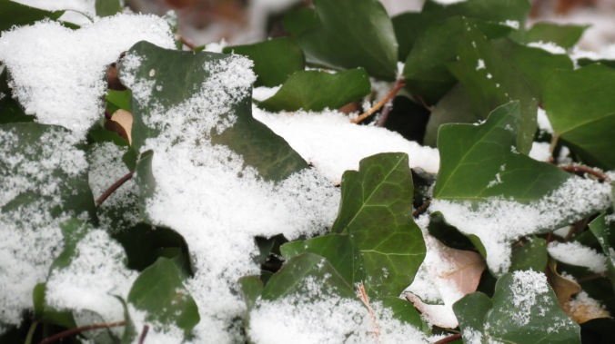 Ivy in Snow
