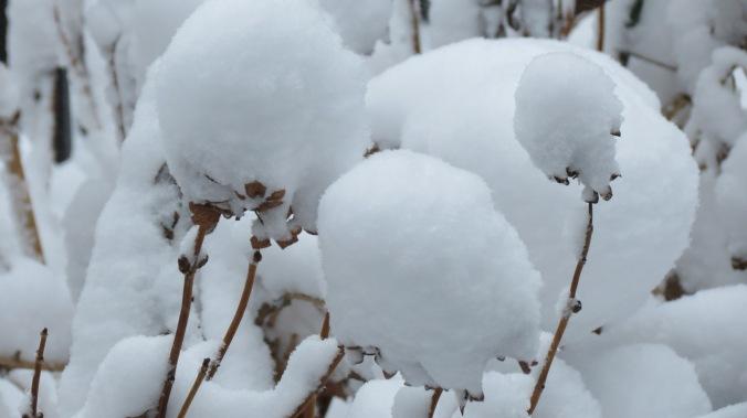 Hydrangea or cotton?
