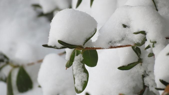 Azalea In Snow.