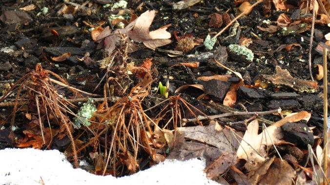 Hyacinth Emerging