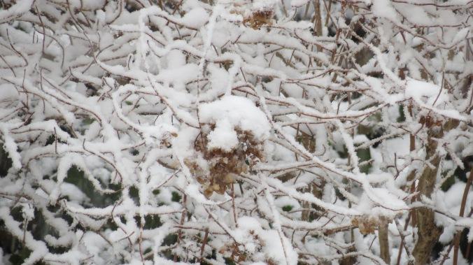 Pee Gee Hydrangea In Snow