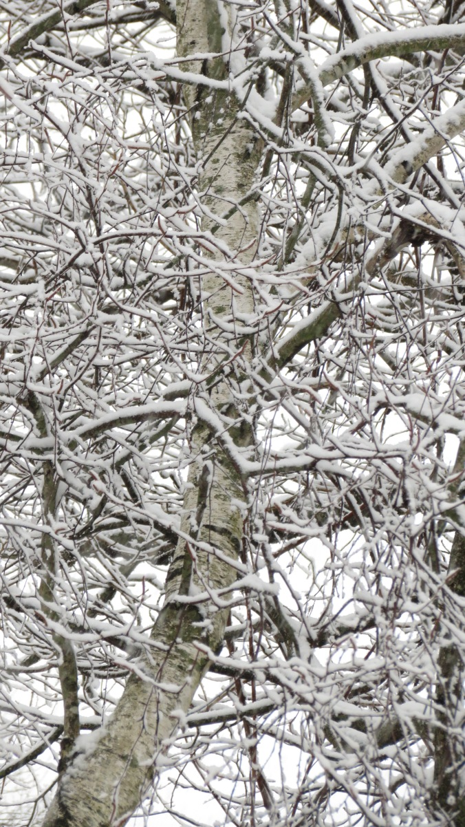 White Birch In Snow