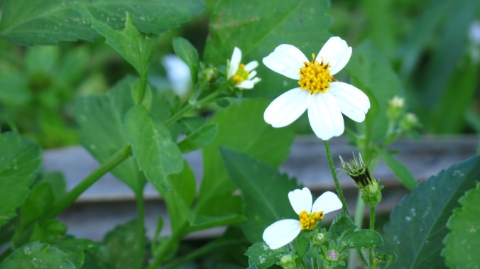 I've saved the best weed name for last.  I believe this is Bidens alba -- better known as Hairy Beggarticks.