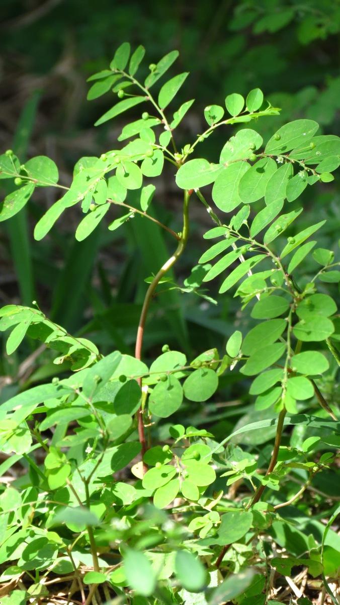 Chamberbitter; Phyllanthus urinaria -- I think.