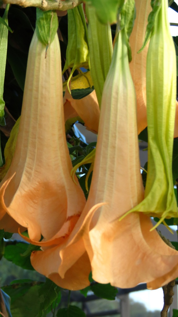 The bells of Brugmansia.