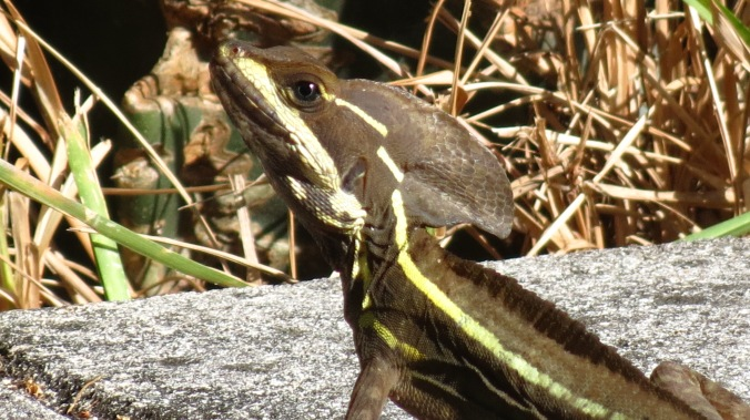 A whole new lizard made an appearance.  This one looks like a dinosaur from an old sci-fi film.
