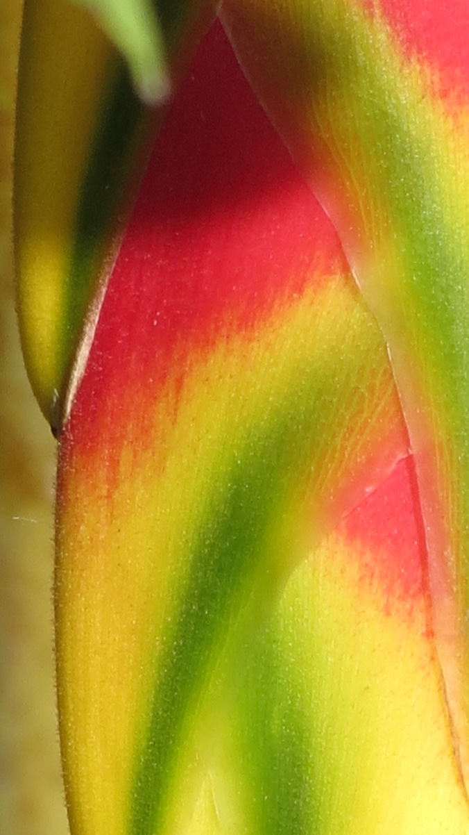 True colors: Heliconia close-up.