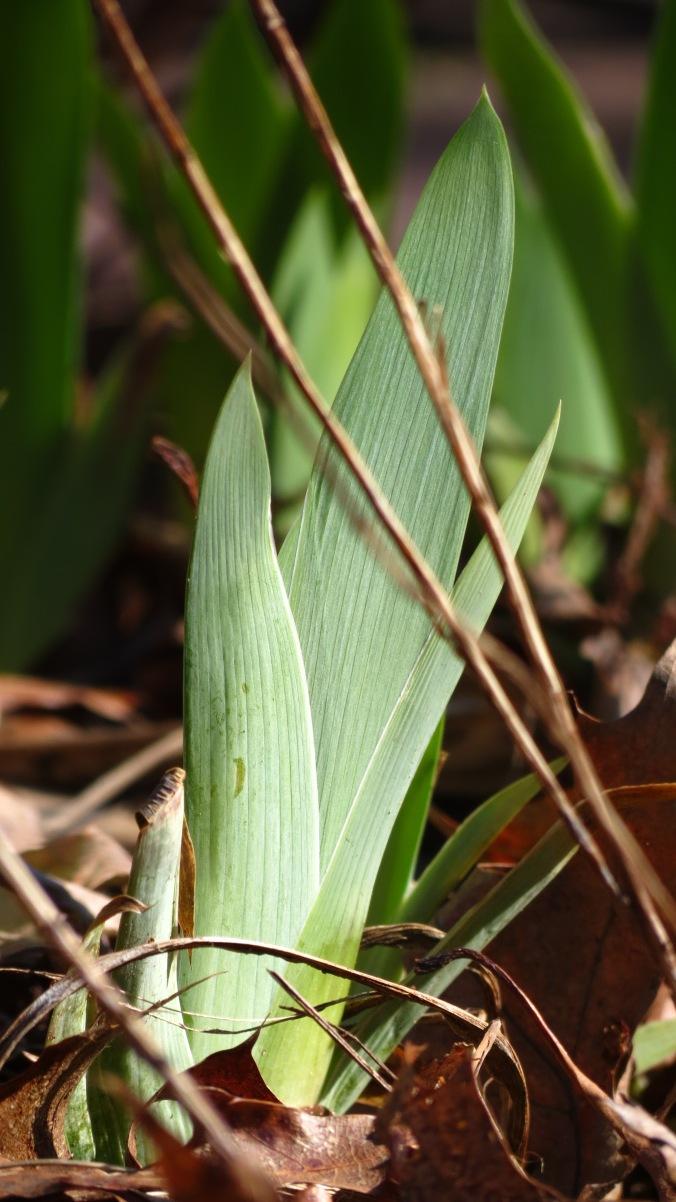 An iris shoot pushes its way through winter's brownness.