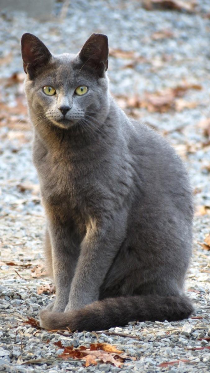 Rowdy, the barnyard cat.