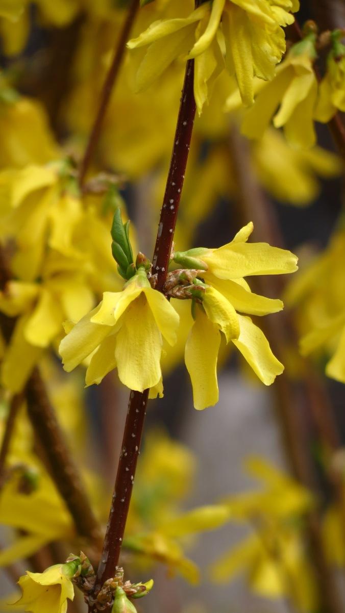 Forsythia heralds spring's awakening.