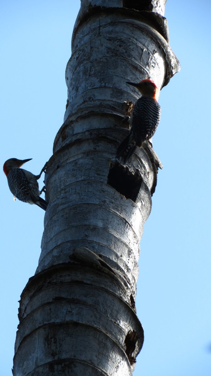 Even palm trees that are no longer alive are full of life.  On high, there are woodpeckers.